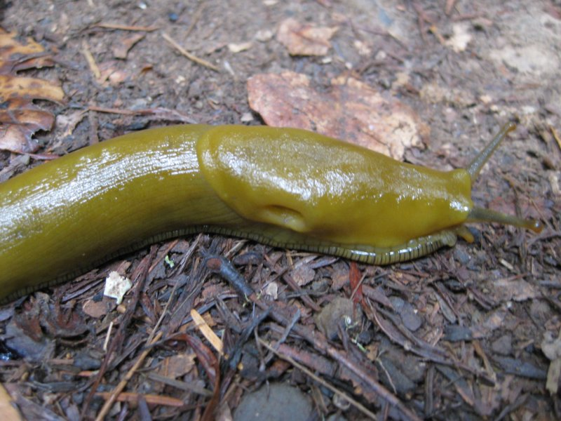 Banana Snail