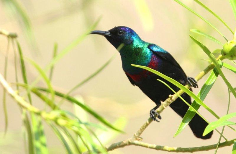 Abessinsk solfågel, male