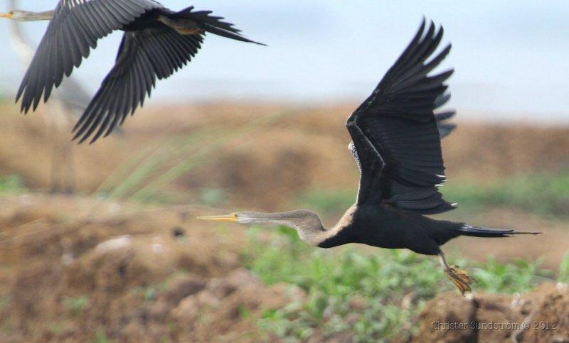 Asiatisk ormhalsfågel