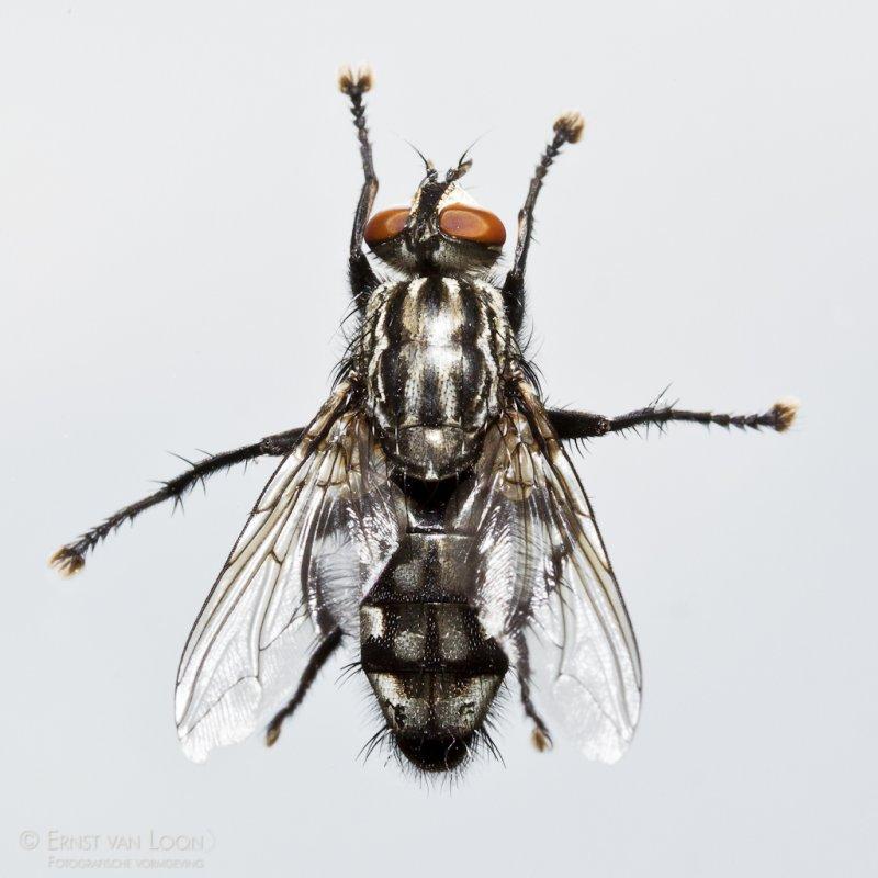 Common flesh fly (Sarcophaga carnaria)