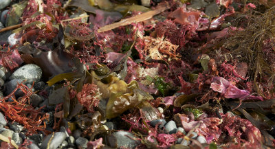 THE BEACH WAS LITTERED WITH BEAUTIFUL COLORS OF SEA KELP WASHED UP WITH THE TIDES
