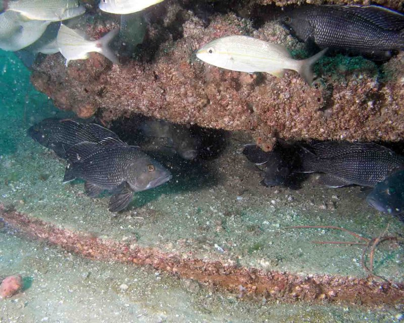 Black Sea Bass love the Eco System