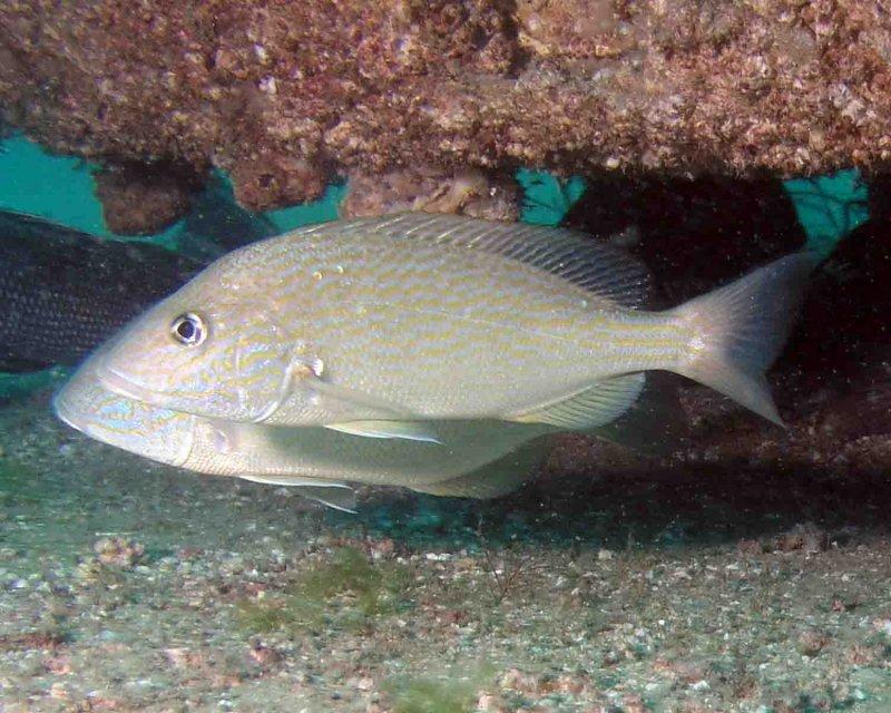 P5110046 Pigfish