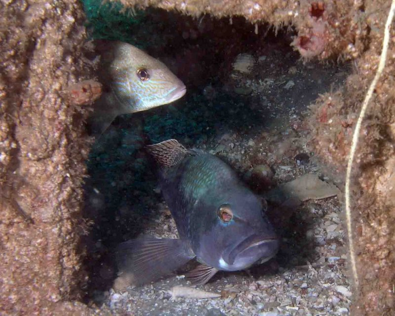 P5110070 Black Sea Bass