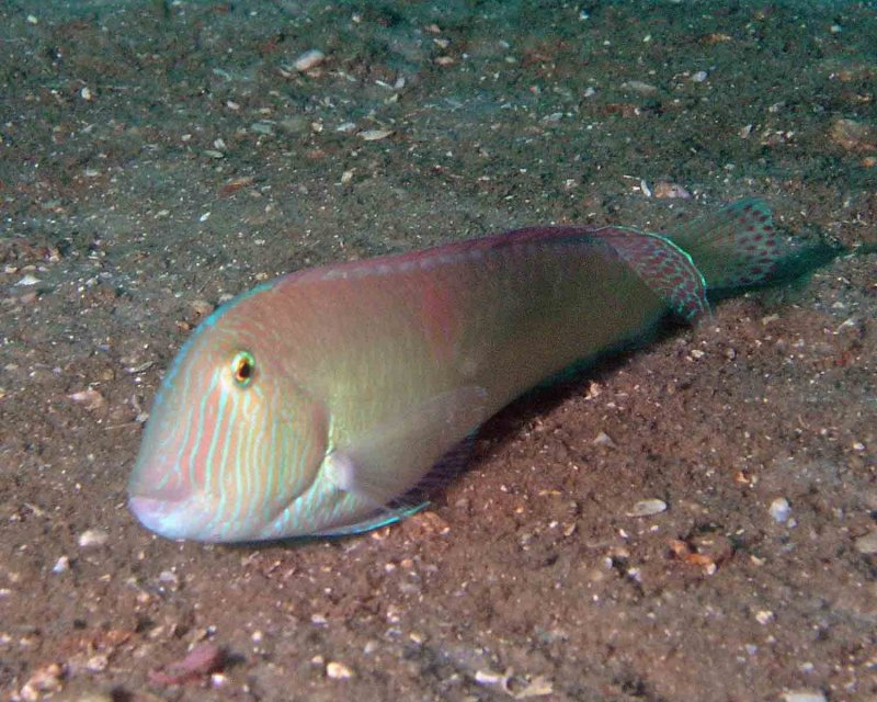 Pearly Razorfish Male