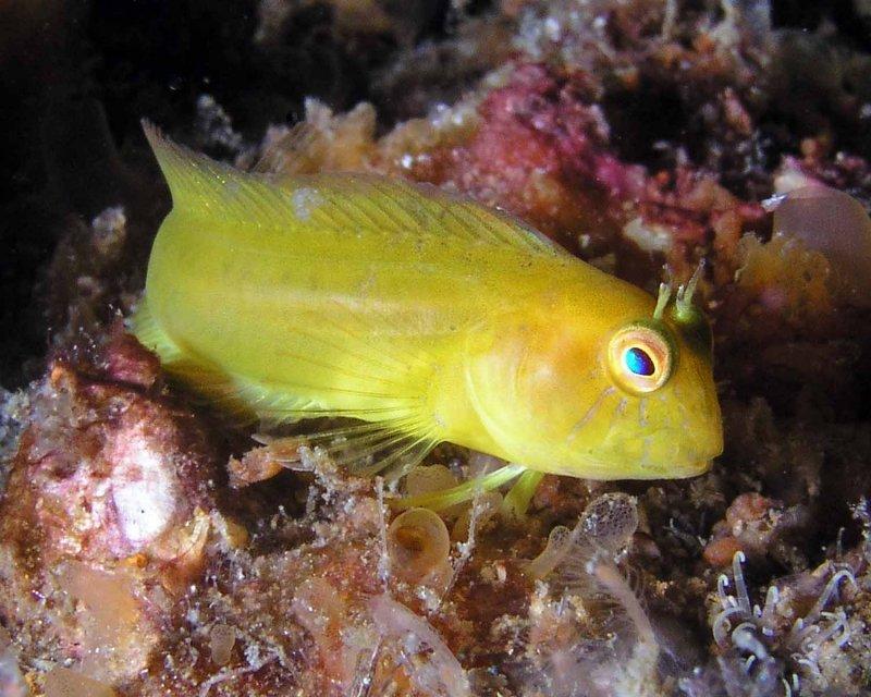 Yellow Seaweed Blenny P6200055