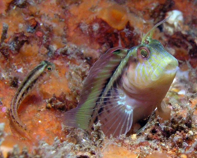 Seaweed Blennies P6200076