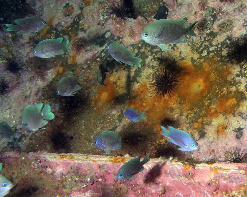 Purple Reeffish, found in great numbers on the wreck