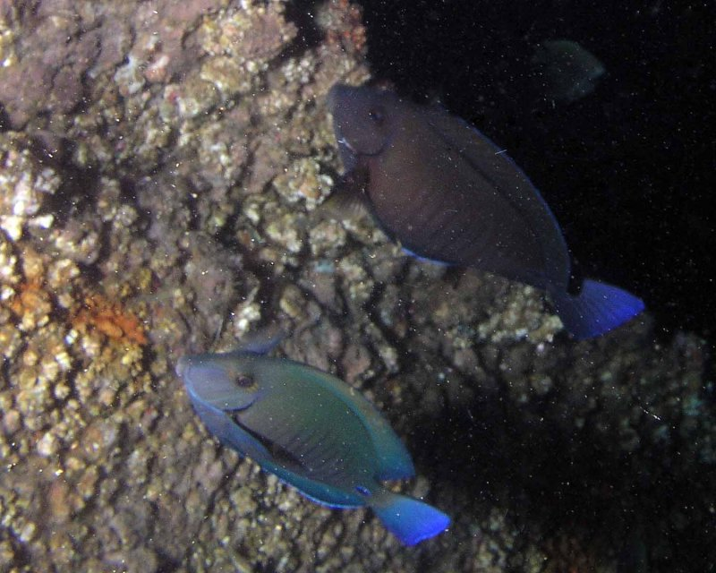 Doctorfish, not a great photo, but another rare find