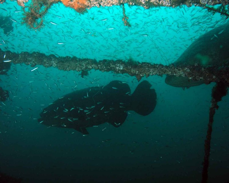 Goliath Grouper P7020004