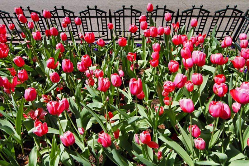 Tulips on State Street