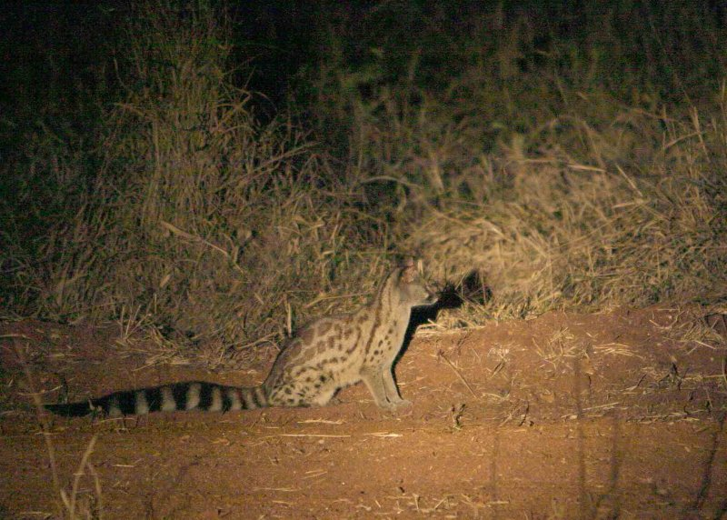 MM This is a Genet.  Very dark, no flash, not a great shot.