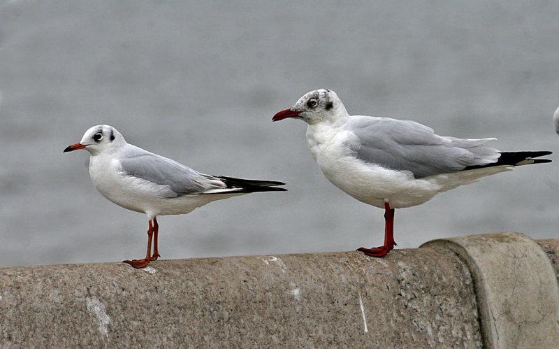 Black-headed and Brown-headed Gull
