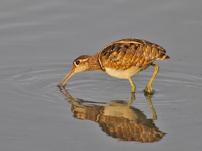 Painted Snipe