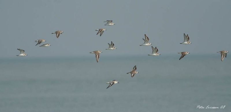 Mixed flock of smaller waders