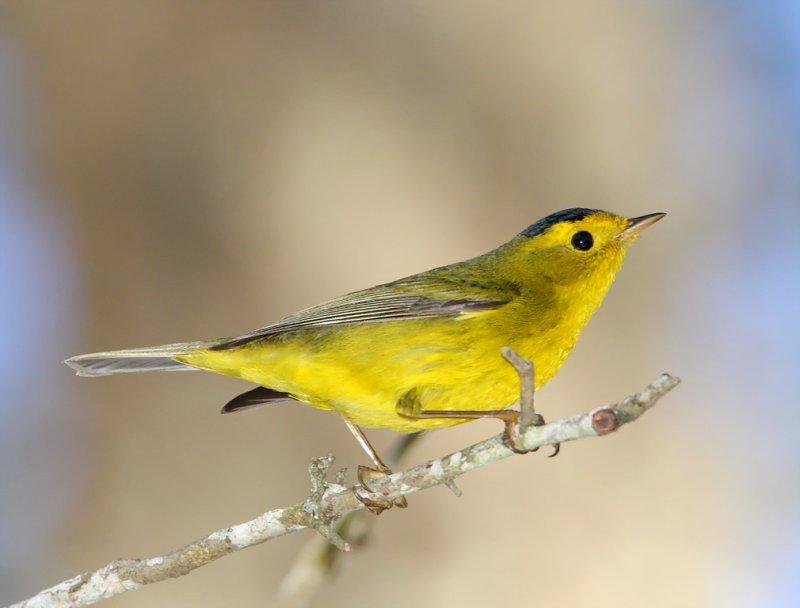 Wilsons Warbler - male_6359.jpg