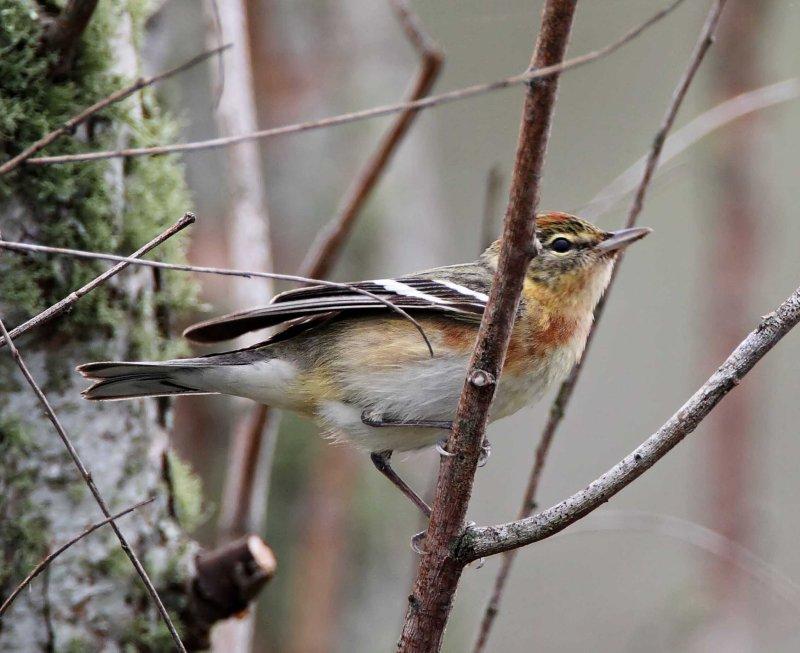 Bay-breasted Warbler - breeding female_8222.jpg