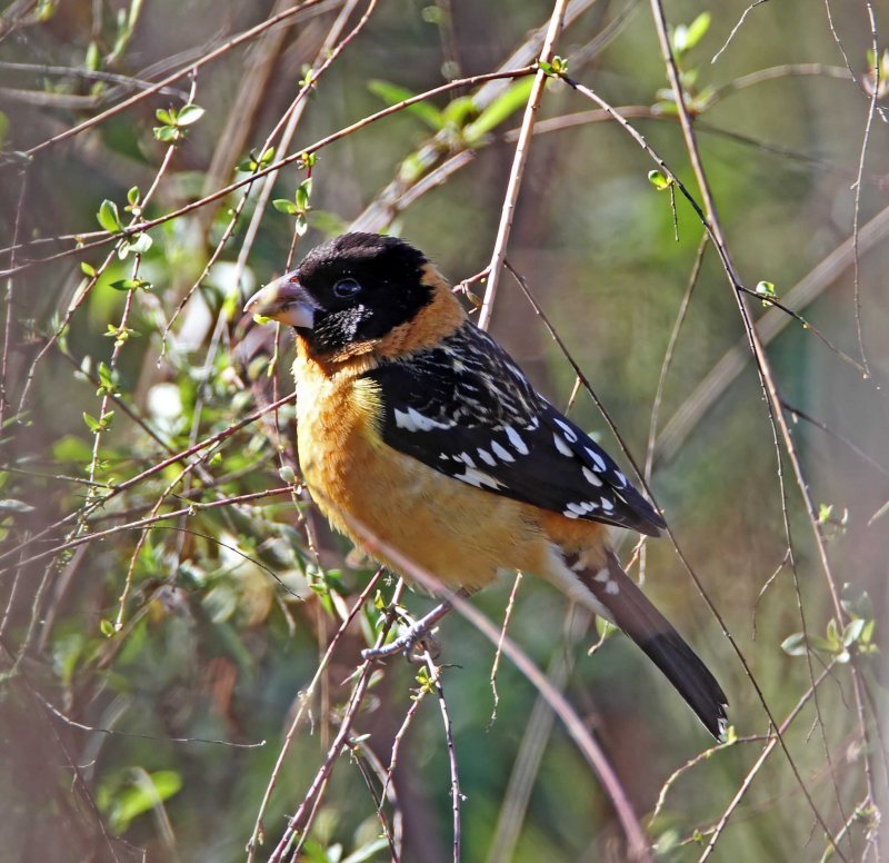 Black-headed Grosbeak - male_5257.jpg