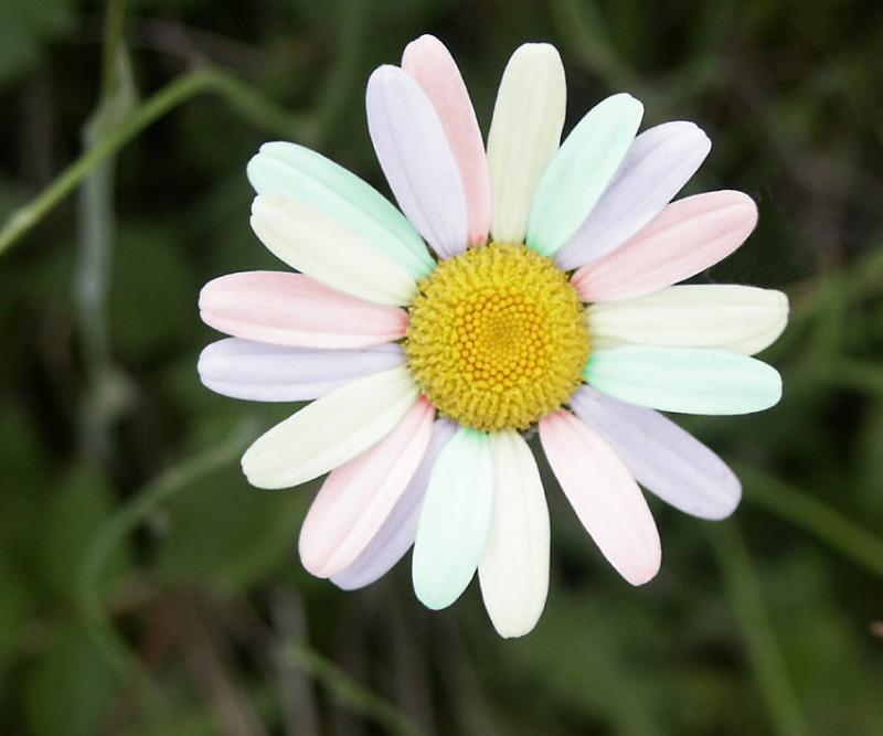 Rainbow Daisy.jpg