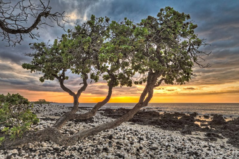 Hawaii Kohala Coast sunset by a koa tree