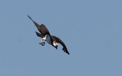 IMG_1733.JPG  Osprey in diving mode June 6 06