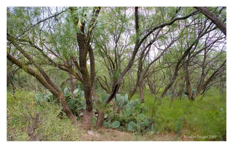 Mesquite grove, San Angelo