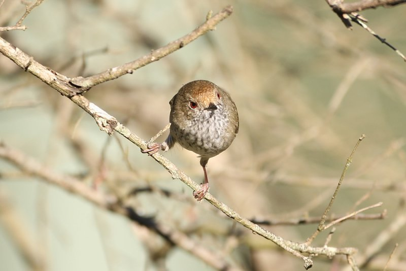 Brown Thornbill 8821b.jpg