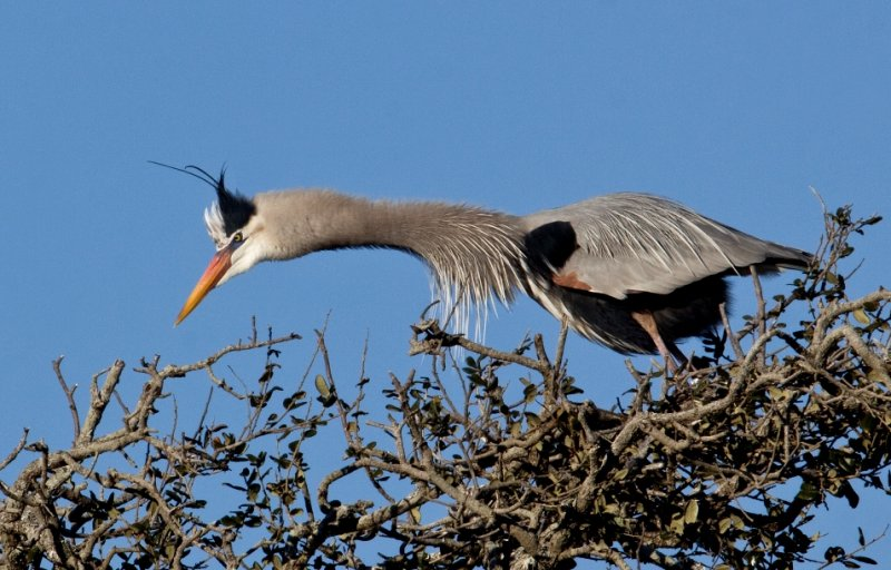 Mad Great Blue Heron