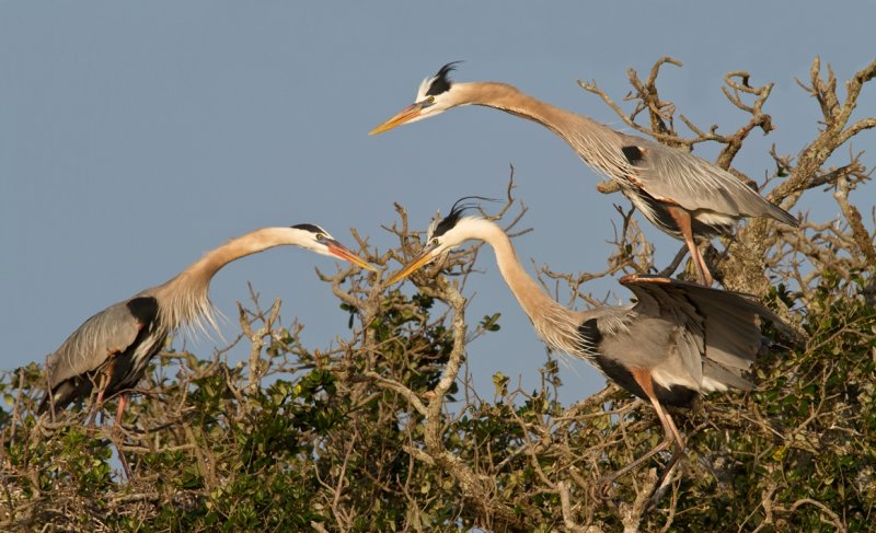 Great Blue Heron Group