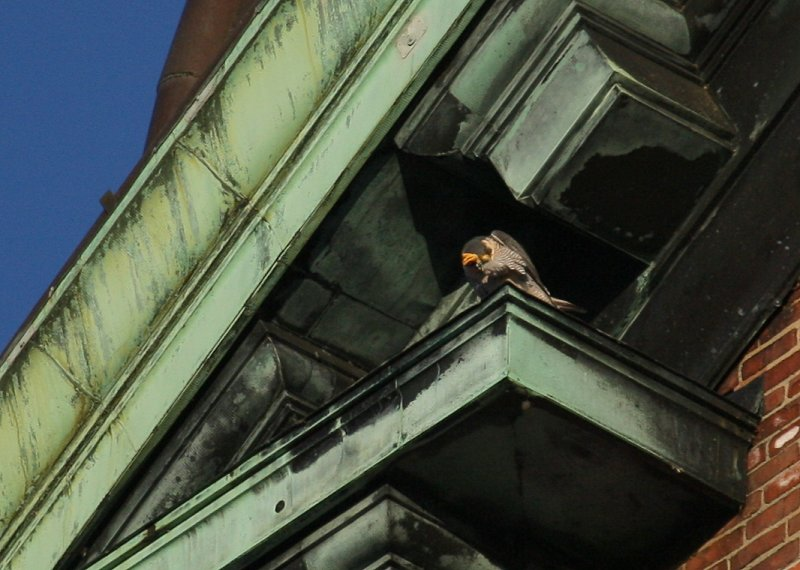 Peregrine on ledge;  ledge diag above/to left of west clock face (scratching)