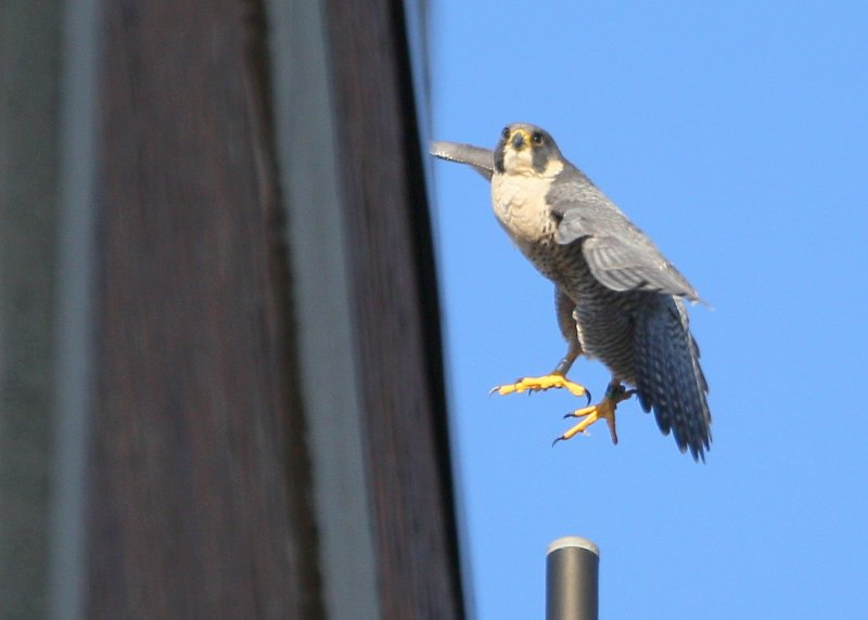 Peregrine: lifting up from antenna