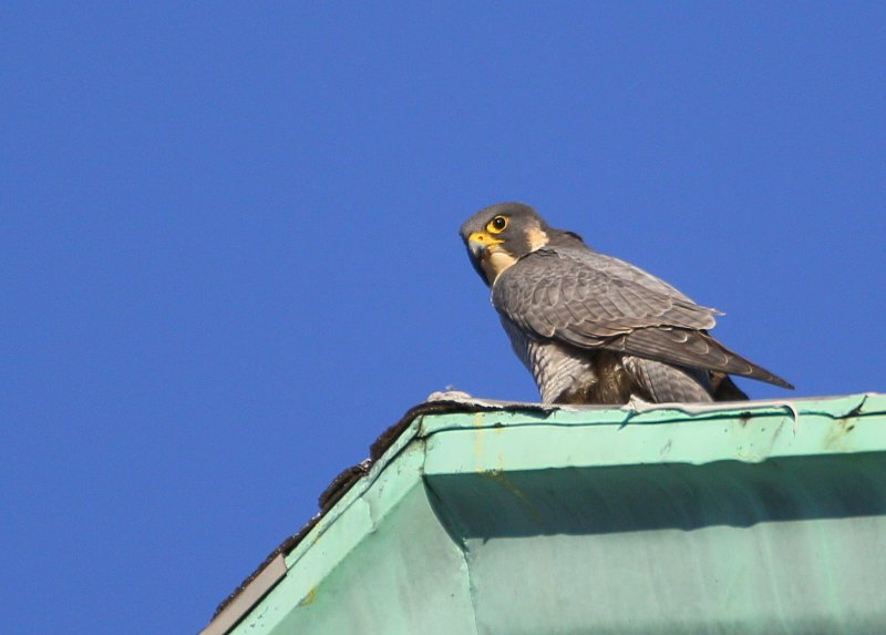 Peregrine: meal time