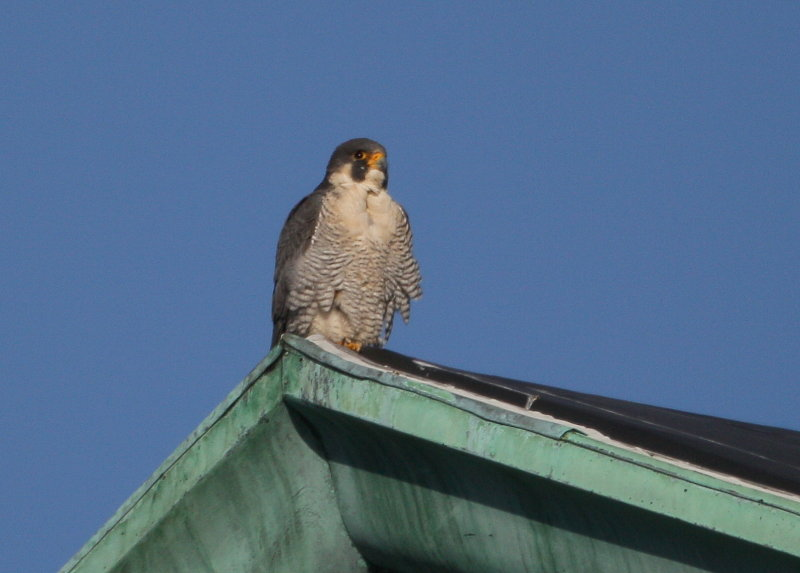 Peregrine: perched on apex of roof