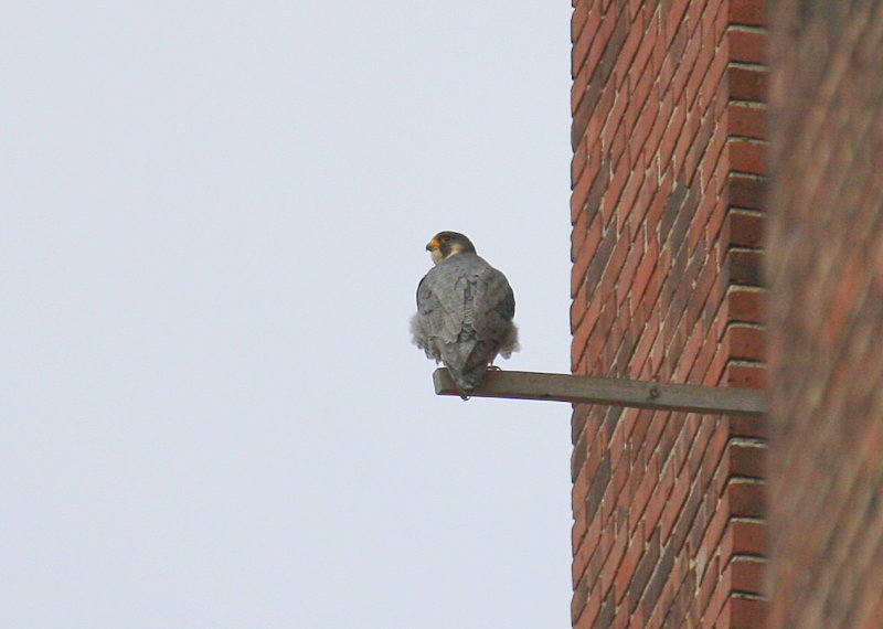 Peregrine: perched at nest box