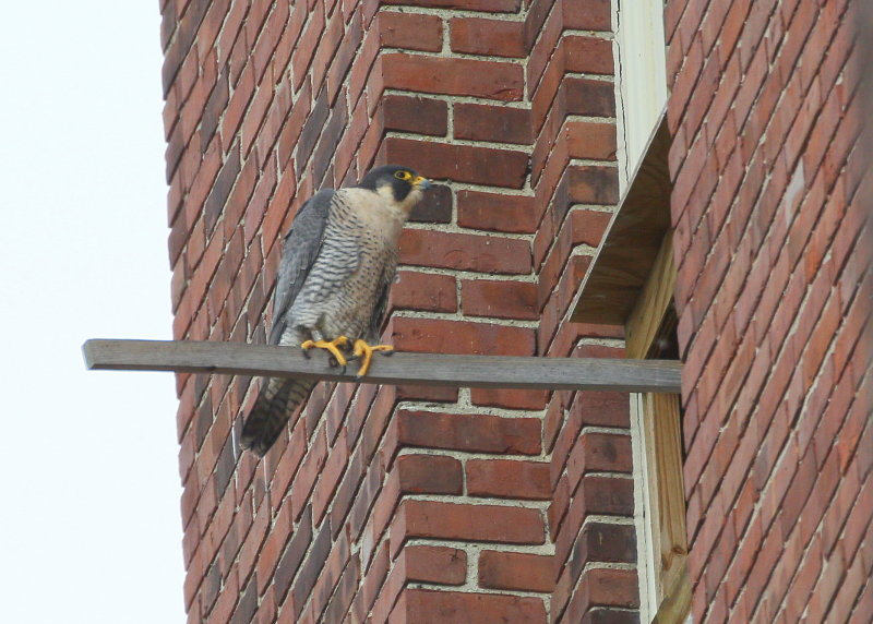 Peregrine: on the perch