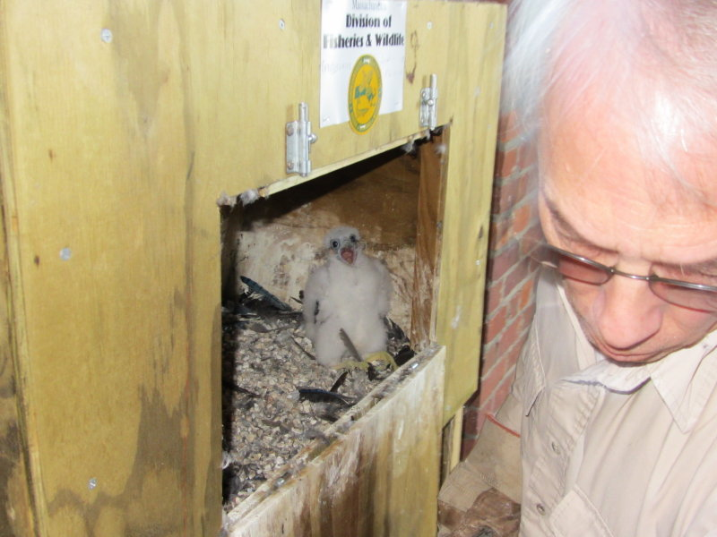 Peregrine chick banding