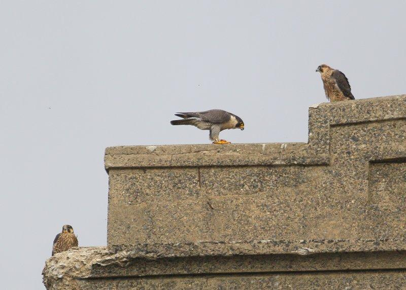 Peregrine adult feeding fledglings