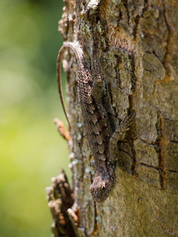 P6124876 Eastern Fence Lizard