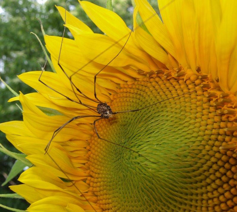 DSCF7713 Harvestman on Sunflower