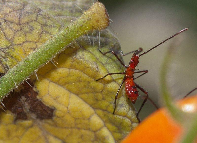 _MG_2427 Assassin Bug Nymph