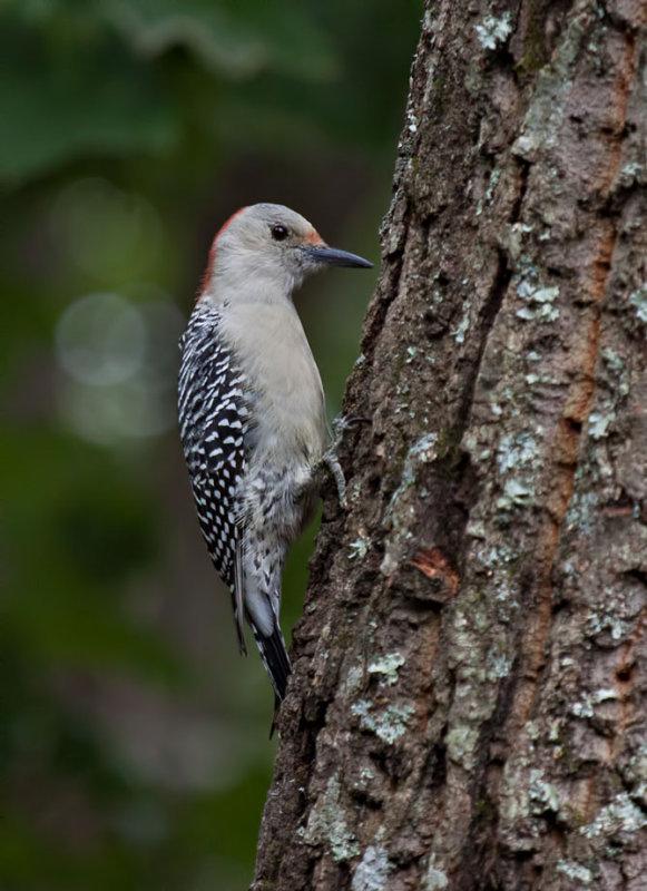 _MG_6403 Red Bellied Woodpecker