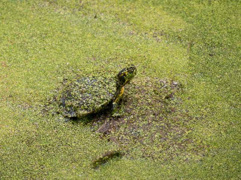 P1040487 Slider Turtle Covered with Duckweed