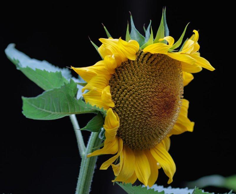 _MG_9818 Sunflower