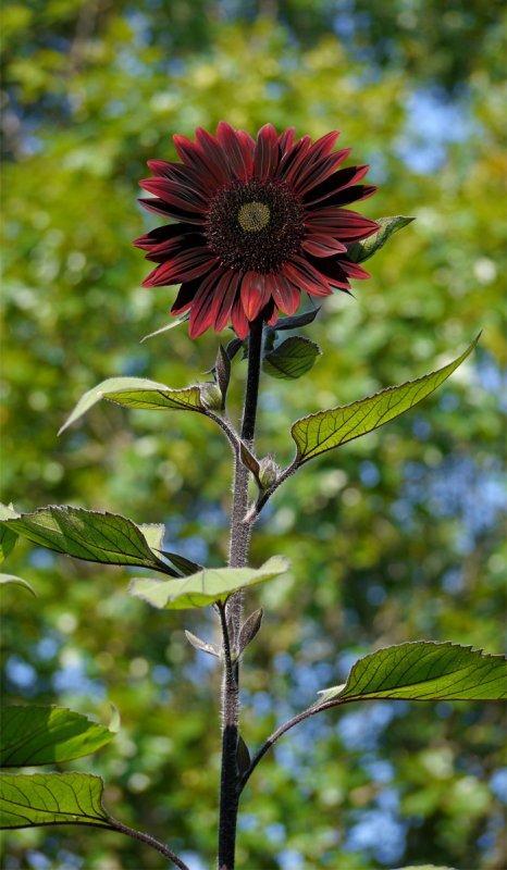 P1060019 Chianti Sunflower from Burpee