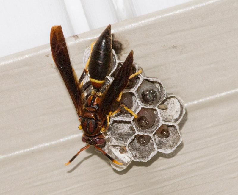 _MG_0105 Paper Wasp Tending Larvae