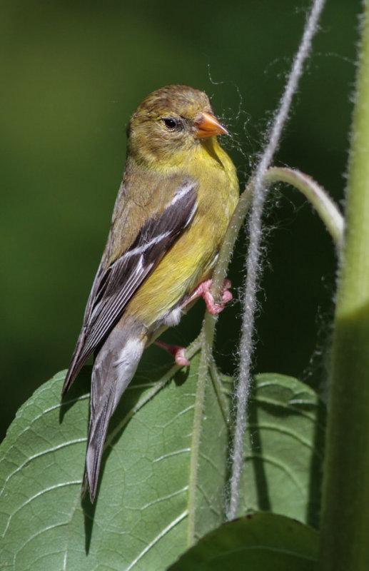 _MG_0313 American Goldfinch