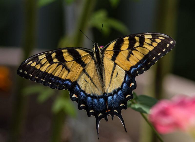 _MG_0434 Swallowtail