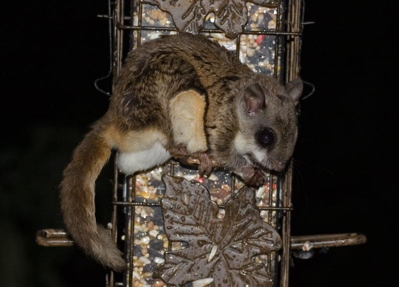 _MG_2805 Flying Squirrel on Squirrel Proof Feeder
