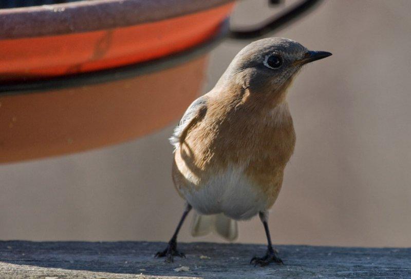 _MG_0480 Female Bluebird