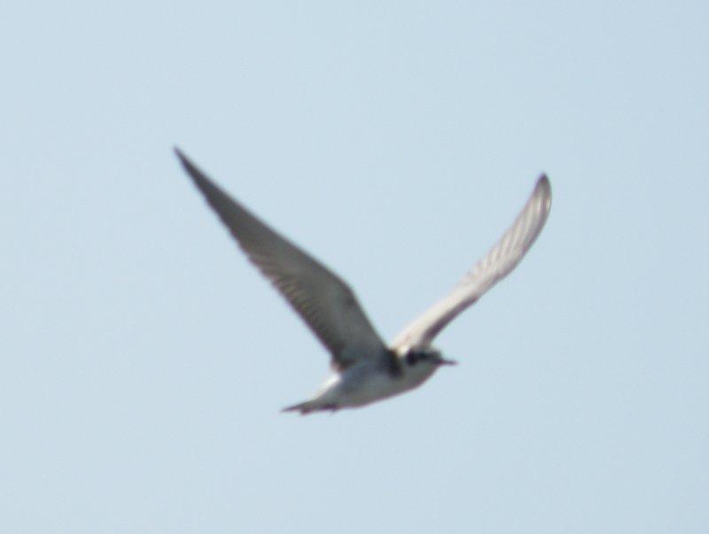 Tern black or WW VAH 0811 c.JPG